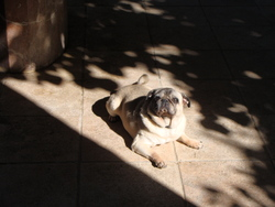 Choupette, chien Carlin