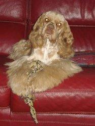 Dickens, chien Cocker américain