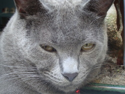 Kenzo, chat Chartreux