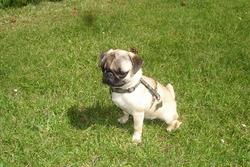 Elton, chien Carlin
