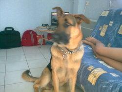 Eden, chien Berger allemand