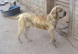 Donga, chien Fila brasileiro