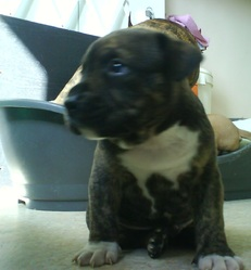 Gothan, chien American Staffordshire Terrier