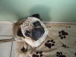 Chiara , chien Carlin