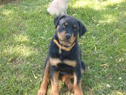 Gaia, chien Rottweiler