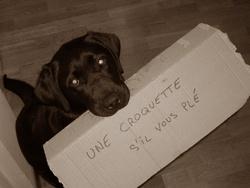 Dyra, chien Labrador Retriever