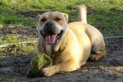 Mouche, chien Dogue de Majorque