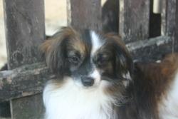 Velour, chien Épagneul nain continental