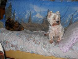 Texane, chien West Highland White Terrier