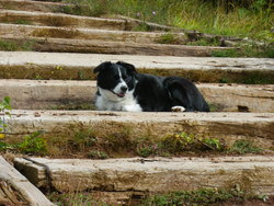Tomy, chien Border Collie