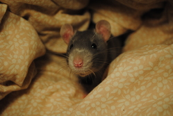 Charly, rongeur Rat