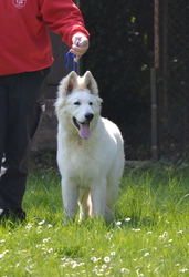Flocon, chien Berger blanc suisse