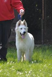 Flocon, chien Berger blanc suisse