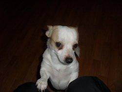 Eclipce, chien Chihuahua