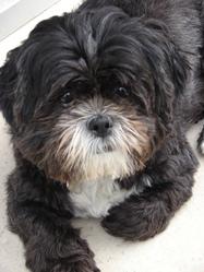 Tao, chien Lhassa Apso