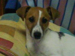 Zélie, chien Jack Russell Terrier