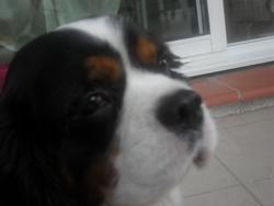 Beddy, chien Cavalier King Charles Spaniel
