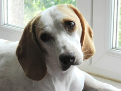 Fripon, chien Beagle