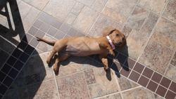 Roxie, chien Teckel