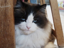Patchouly, chat Birman