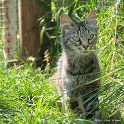 Adalia De La Forêt Verte, chat Angora turc