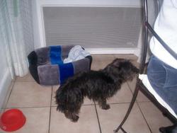 Gypsy, chien Teckel