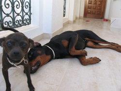 Zara, chien Dobermann