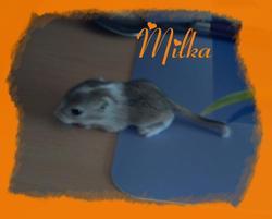 Milka, rongeur Gerbille