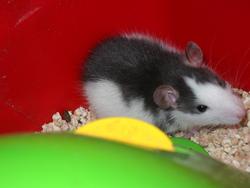 Moucho, rongeur Rat