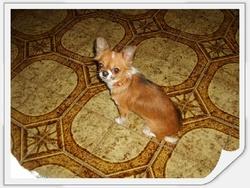 Dani-Lee, chien Chihuahua