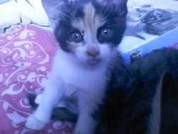 Attila, chat Gouttière