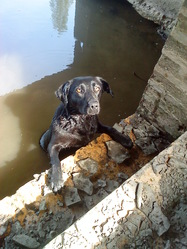 Hannah, chien Labrador Retriever