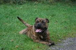 Hells Cadeous Des Hautes-Fagnes, chien Dogue de Majorque