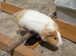 Ficelle, rongeur Cochon d'Inde