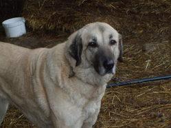 Skiraz , chien Berger d'Anatolie