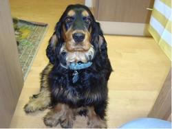 Diego, chien Cocker anglais