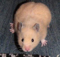 Nouguat, rongeur Hamster