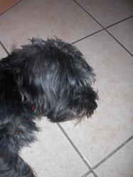 Cambouis, chien
