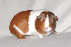 Frida, rongeur Cochon d'Inde