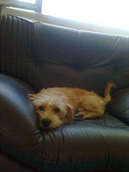 Max , chien Griffon fauve de Bretagne