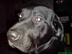 Kovu, chien Labrador Retriever