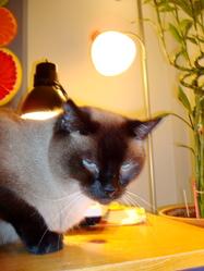 Zen, chat Siamois