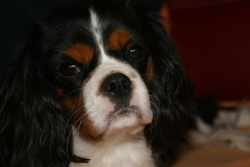 Elina, chien Cavalier King Charles Spaniel
