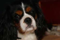 Elina, chien Cavalier King Charles Spaniel