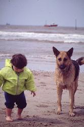 Kelly, chien Berger allemand