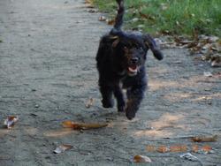 Belle  , chien Caniche