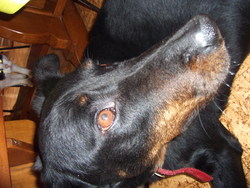 Vandy, chien Beauceron