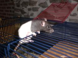 Choukette, rongeur Rat