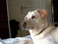 Apple, chien