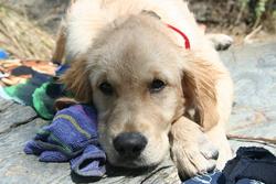 Farell, chien Golden Retriever